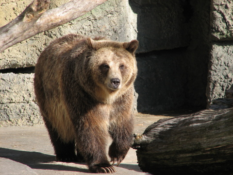 Grizzly at SFZoo
