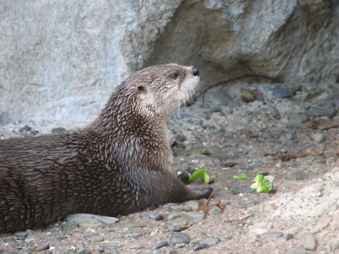 Otter at the SFZoo
